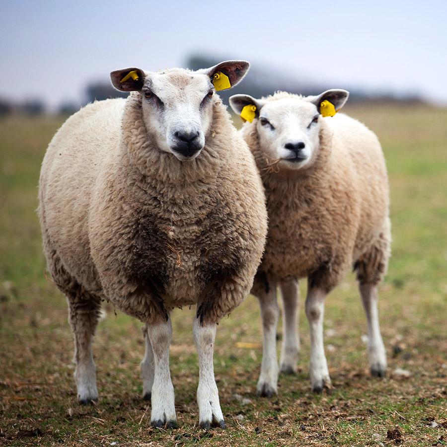 Schafe aus Texel, Niederlande